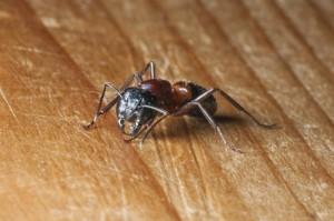 Carpenter Ant removal in Mine Hill NJ | Pest Control Service